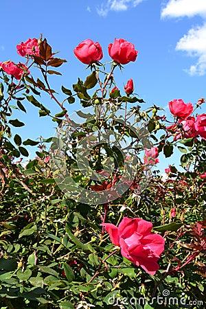 Free Beautiful Pink Rose Bush Royalty Free Stock Photos - 22308008