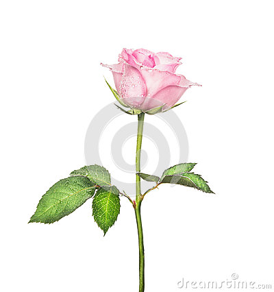 Free Beautiful Pink Rose On  Long Stalk With Leaves, Isolated On White Stock Photo - 48190000