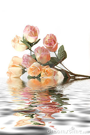 Beautiful pink roses with water reflection isolated on white background