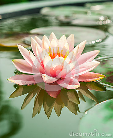 Free Beautiful Pink Waterlily Or Lotus Flower In Pond Royalty Free Stock Photos - 46196418