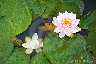 Beautiful pink and white waterlilies