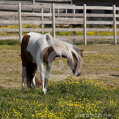 Beautiful pinto pony