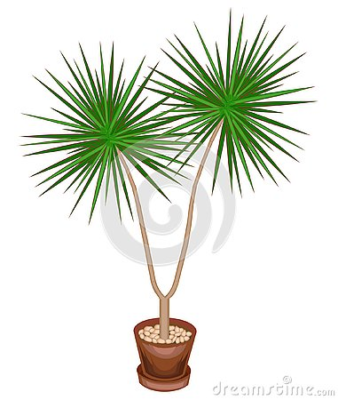 A beautiful plant in a pot. Dracaena will decorate your house and office. Decorative evergreen tree. Vector illustration Cartoon Illustration