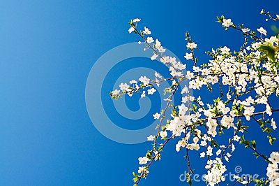 Beautiful plum tree blossom.