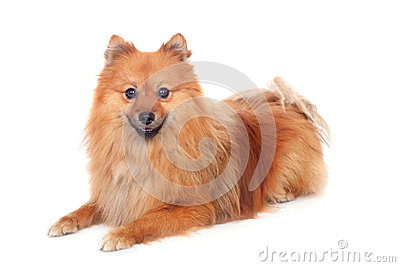 Beautiful Pomeranian dog