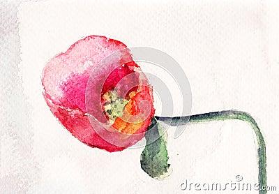 Beautiful Poppy flower