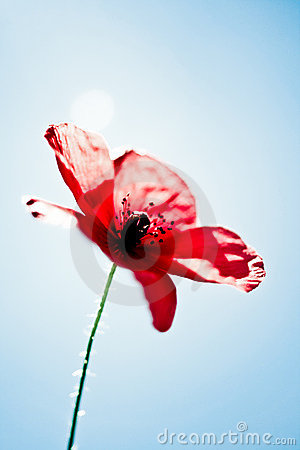 Free Beautiful Poppy On A Sunny Day Stock Photography - 5695142