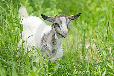 Beautiful portrait goat.