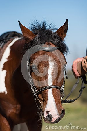Free Beautiful Portrait Of A Brown Horse Stock Image - 108799061