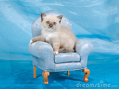 Beautiful pretty Ragdoll kitten on chair