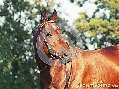 Beautiful prizer Trakehner stallion