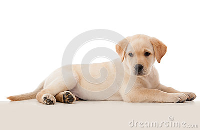 Beautiful puppy laying down