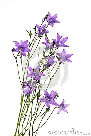 Free Beautiful Purple Flowers Royalty Free Stock Photography - 5540257