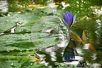 Beautiful purple lotus in garden
