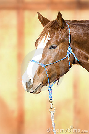 Beautiful Quarter Horse wearing a Rope Halter