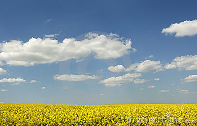 Beautiful rape (canola) field