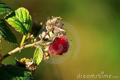 Beautiful Raspberry