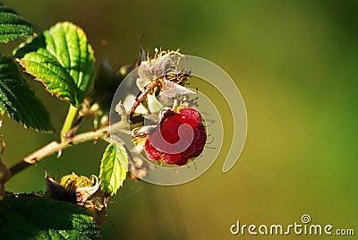 Beautiful Raspberry