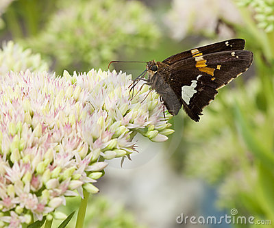 Beautiful Red Admiral Butterfly on Sedum Bl