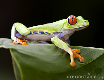Beautiful red eyed green tree frog, costa rica
