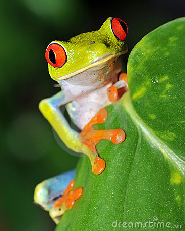 red eyed green tree frog,costa rica