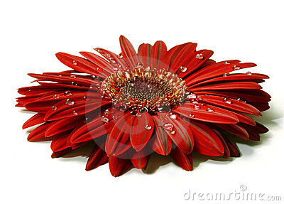 Beautiful red gerbera with raindrops