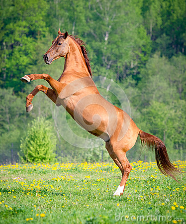 Free Beautiful Red Horse Rearing Up At Sunset In Summer Stock Images - 94329864