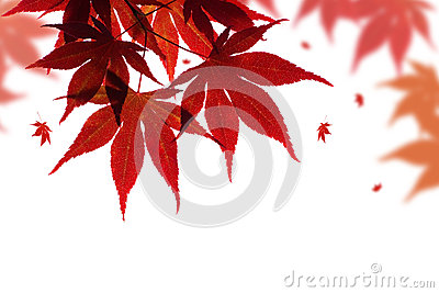 Beautiful Red Maple Branch Royalty Free Stock Photos - Image: 26523838