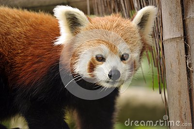 Beautiful Red Panda
