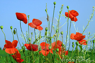 Beautiful Red Poppies Under a Blue Sky