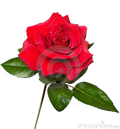 Free Beautiful Red Rose Stock Photography - 1065392