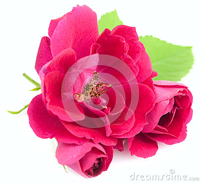 Beautiful  Red Rose Flowers with leaves  on white