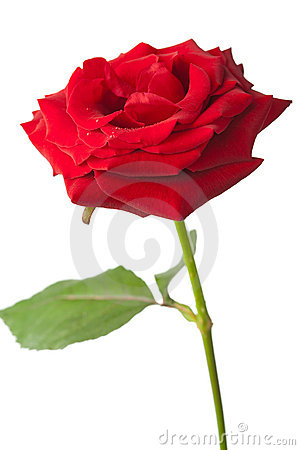 Beautiful red rose isolated