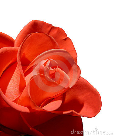 Free Beautiful Red Rose Macro Isolated On White Background Royalty Free Stock Image - 758126