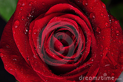 Beautiful red rose with rain drops