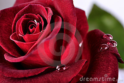 Beautiful red rose with rain drops, macro
