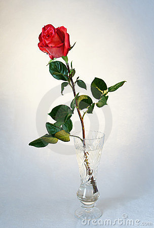 Beautiful red rose in a vase