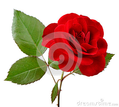 Free Beautiful Red Rose With Leaves On White Background Stock Photos - 31806903