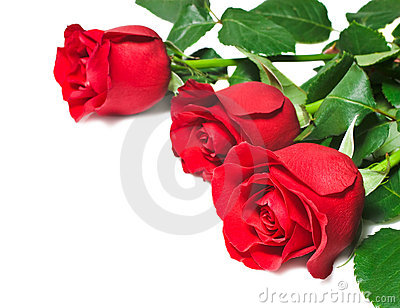 red and white roses background. BEAUTIFUL RED ROSES ON A WHITE