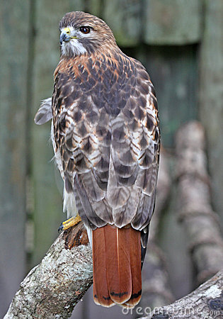 Free Beautiful Red Tail Hawk Royalty Free Stock Images - 4852279