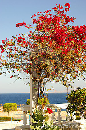 A beautiful red tree on a resort background