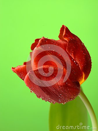 Beautiful red tulip flower