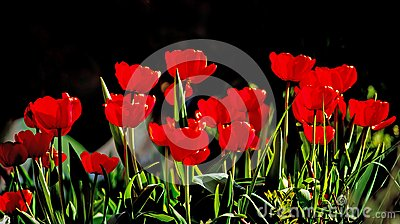 Beautiful red tulips against dark backgroung
