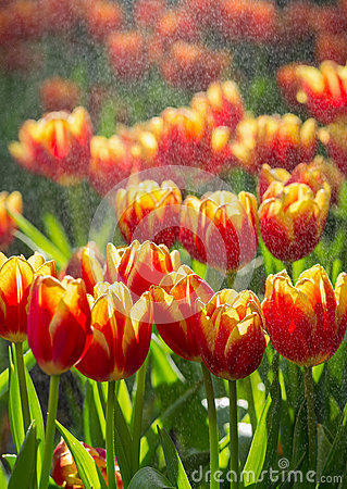 Beautiful red tulips field under the spray