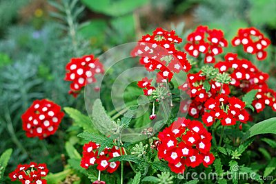 Beautiful red verbena flowers in a garden