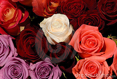 Beautiful red and white roses flowers love background