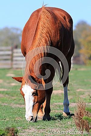 Beautiful reddish-brown horse