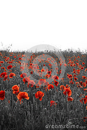 Free Beautiful Rememberence Day Poppy Field Landscape With Copy Space Royalty Free Stock Photography - 43372917