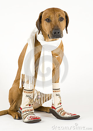 Dog with scarf and socks