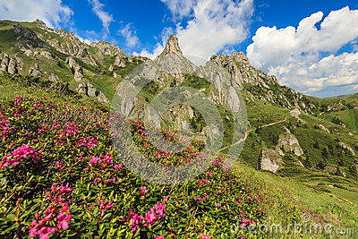 Beautiful rhododendron flowers and summer landscape in Ciucas mountains,Romania